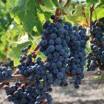 うつ病に良い食べ物はブドウ