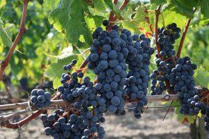 どうしてブドウはうつ病に良いのか?